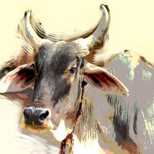 In India: Unholy Cow