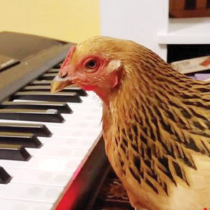 FUN TIME: TALENTED CHICKEN CAN TEACH US A LOT